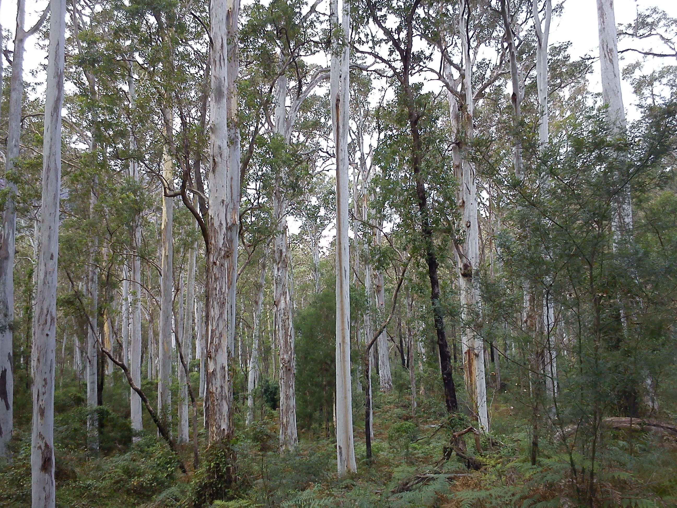 Forest Gum